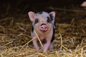 A small black and pink piglet peeps out of the straw.